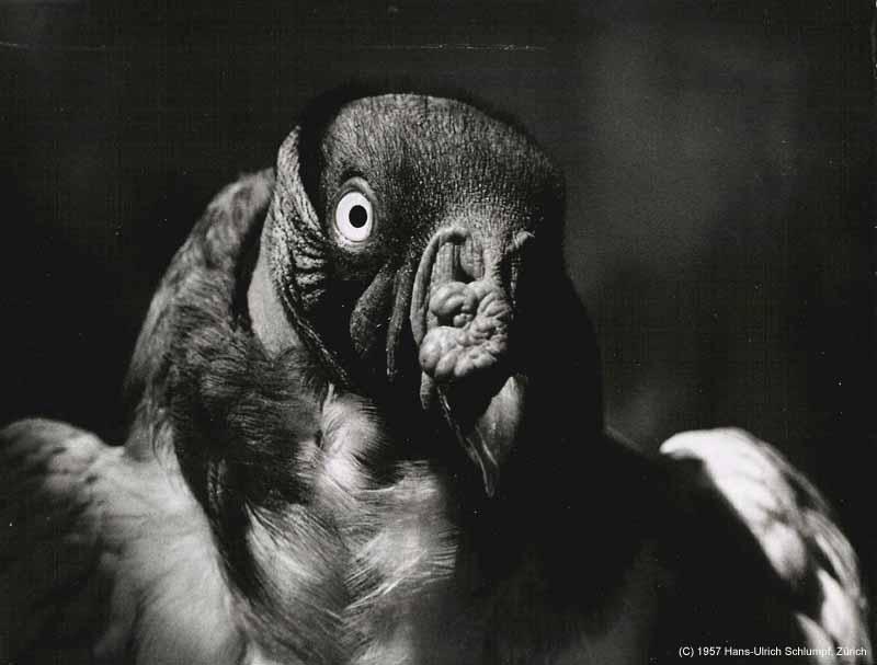 Kleine biografie in bildern 007 tiere kondor 1957